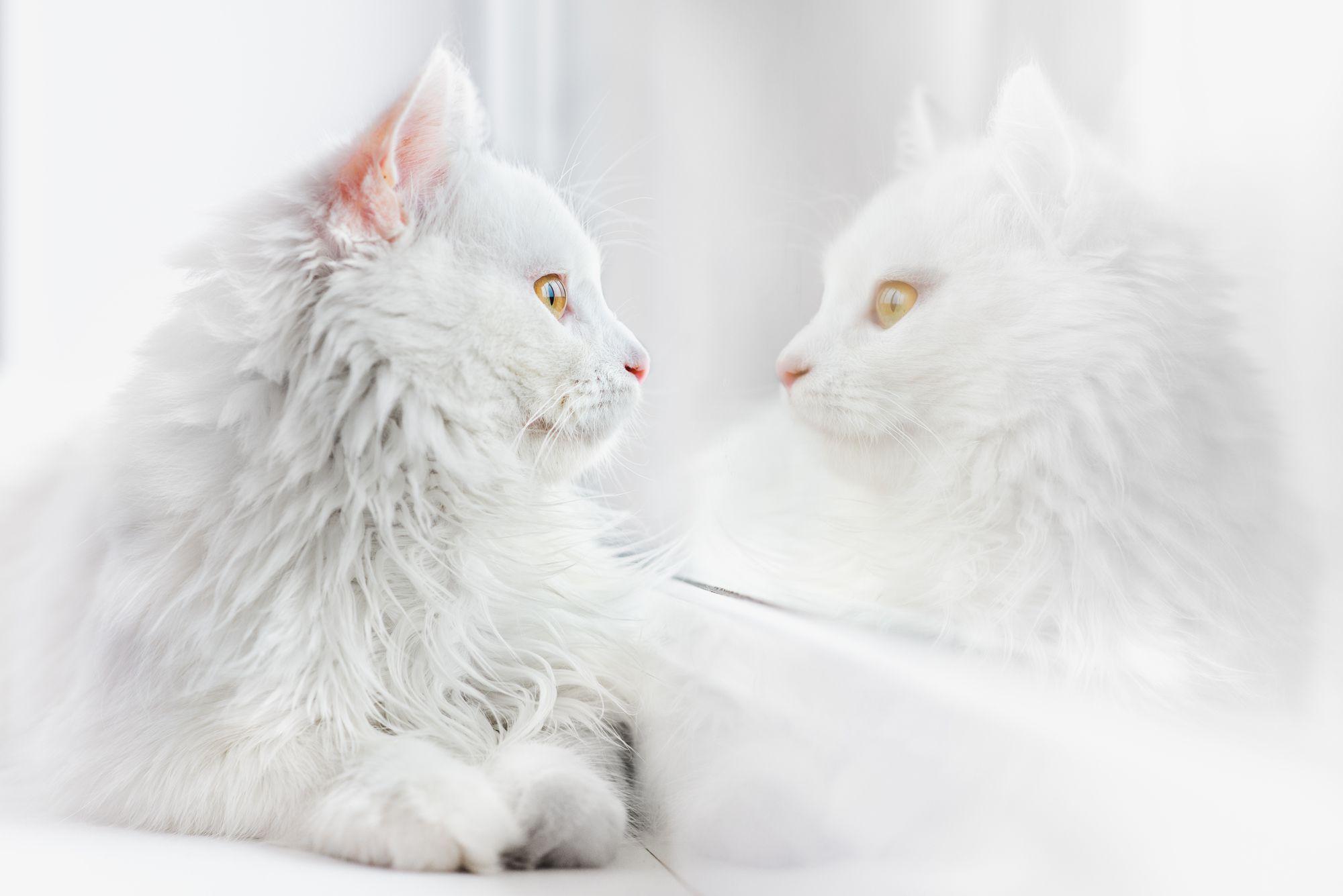 猫 グレー 白 種類
